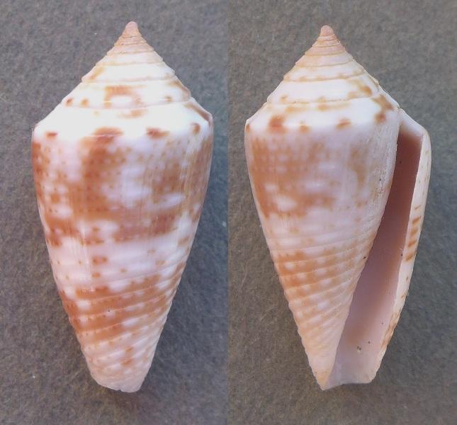 Conasprella simonei (Petuch & R. F. Myers, 2014) P1060711