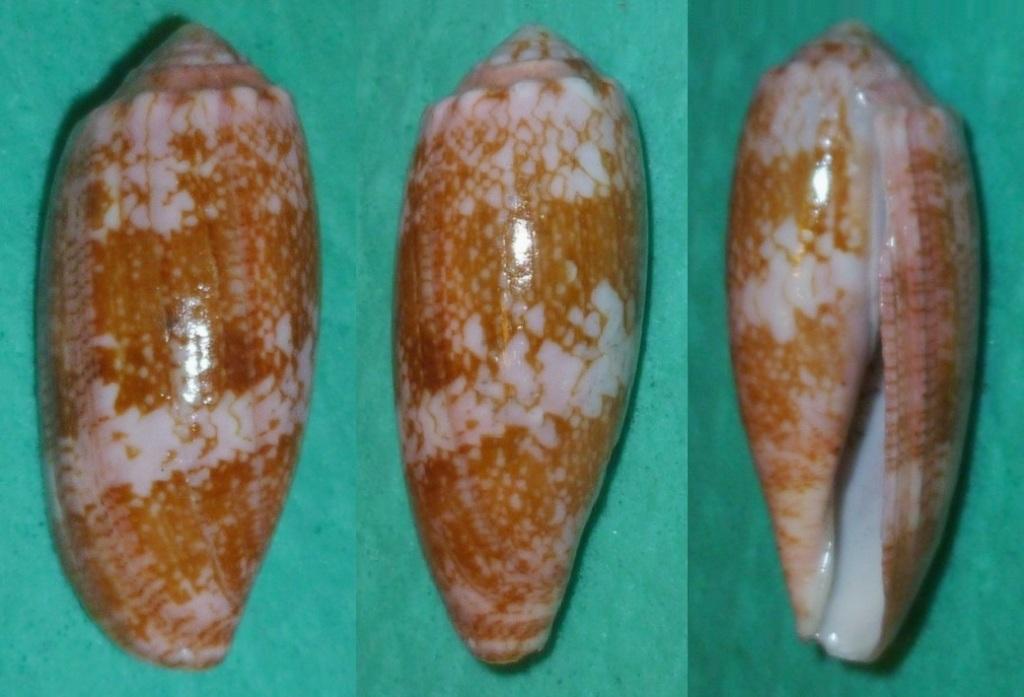 Conus (Gastridium) eldredi   Morrison, 1955 P1120710