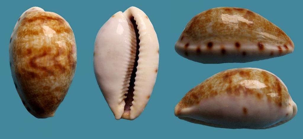 Talostolida pellucens pellucens polynesiana - (Raybaudi, 1992) P_pell10