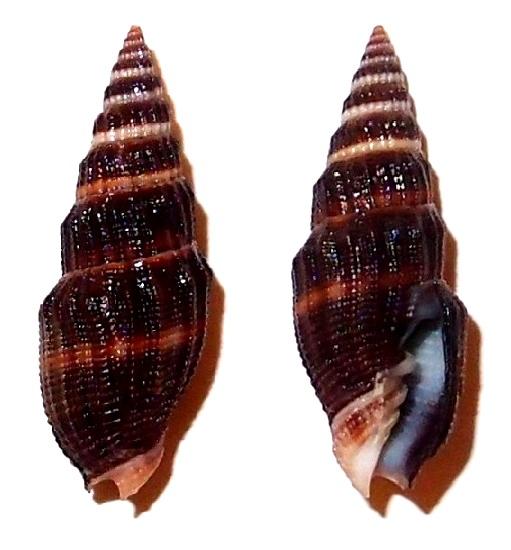 Vexillum echinatum - (A. Adams, 1853)  Pc020610