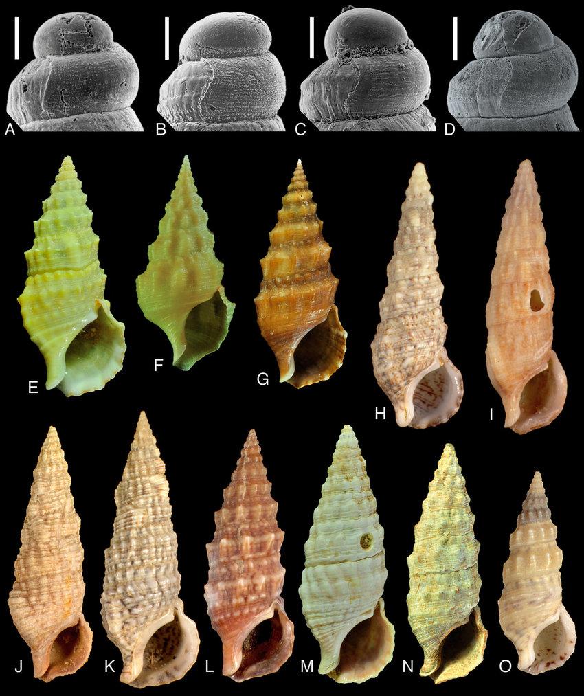 Cerithium repandum f. citrina Monterosato, 1880 Protoc11