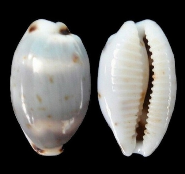Bistolida hirundo hirundo - (Linnaeus, 1758) S-l16010