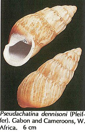 Pseudachatiina sodeni (Kobelt, 1893) Sans_t23