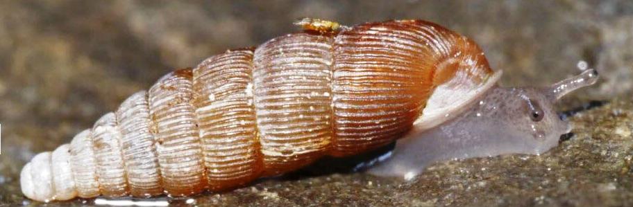 Fusulus interruptus (C. Pfeiffer, 1828) / Une nouvelle espèce d'escargot pour la France Sans_t26