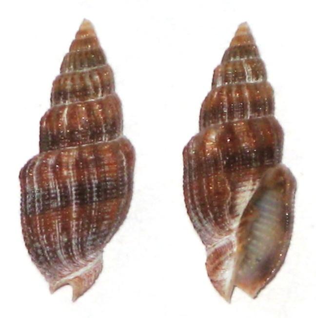 Vexillum exasperatum (Gmelin, 1791) -  morph exustum Dautzenberg & Bouge, 1923 Vexill10