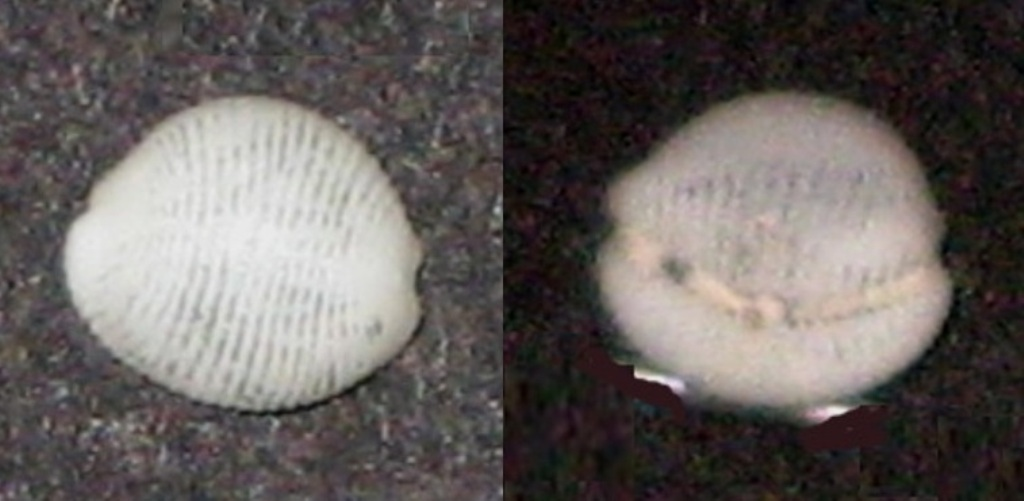 Cleotrivia globosa cf. W1010