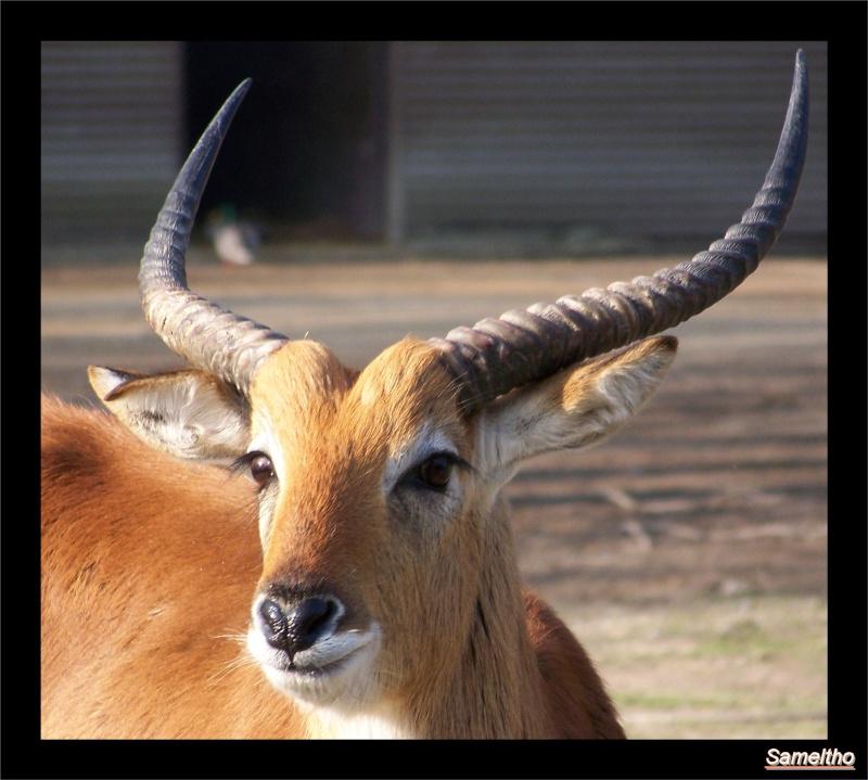 Cobe de lechwe (Kobus leche) 02210