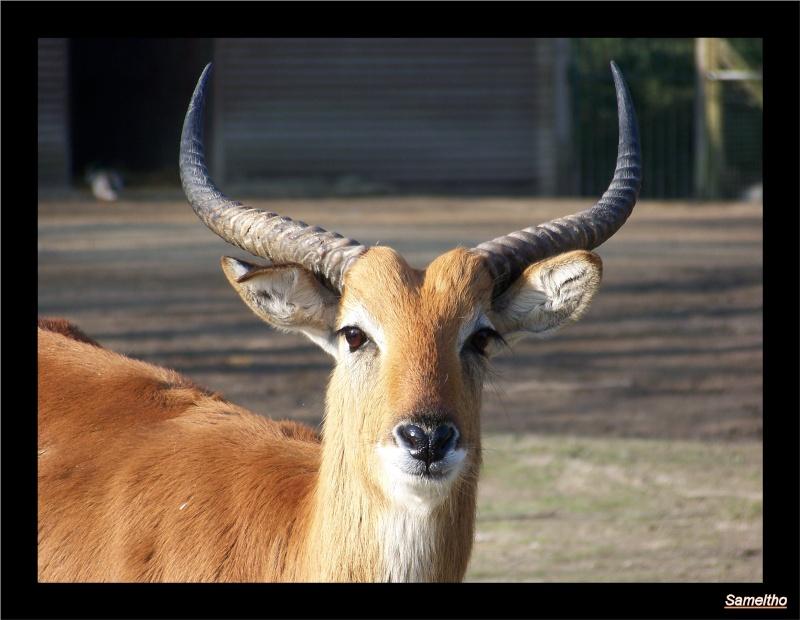Cobe de lechwe (Kobus leche) 02410