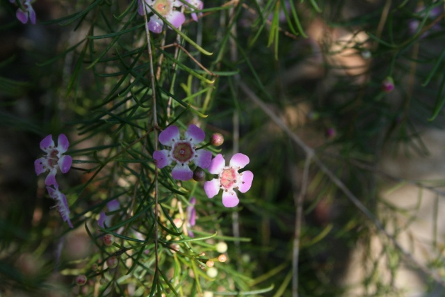 Jardin Botanique Val Rameh de Menton fin décembre 2007 Chamae10