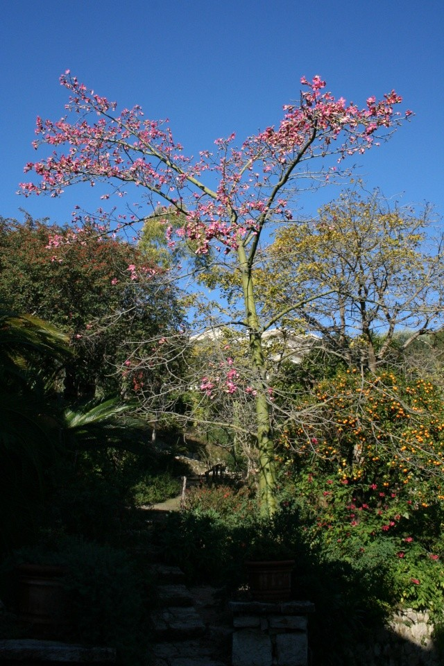 Chorisia speciosa de Val Rameh à Menton Choris15