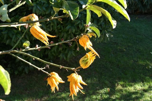 Jardin Botanique Val Rameh de Menton fin décembre 2007 Citrus10