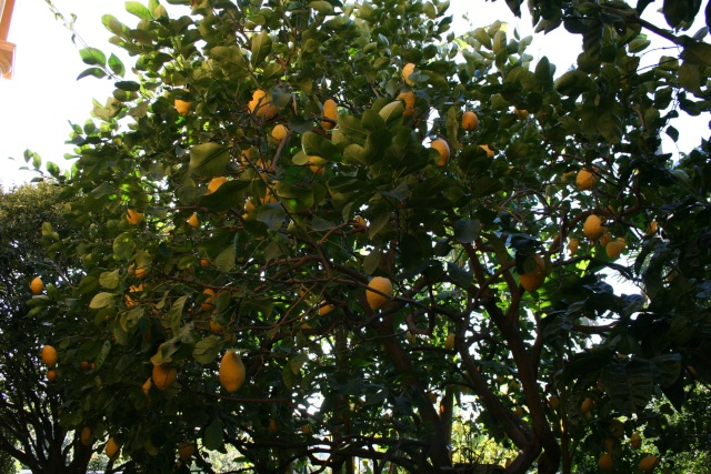 Jardin Botanique Val Rameh de Menton fin décembre 2007 Citrus11