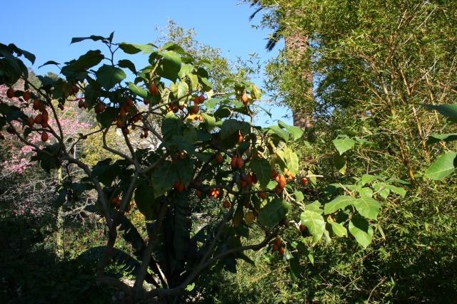 Jardin Botanique Val Rameh de Menton fin décembre 2007 Cyphom11
