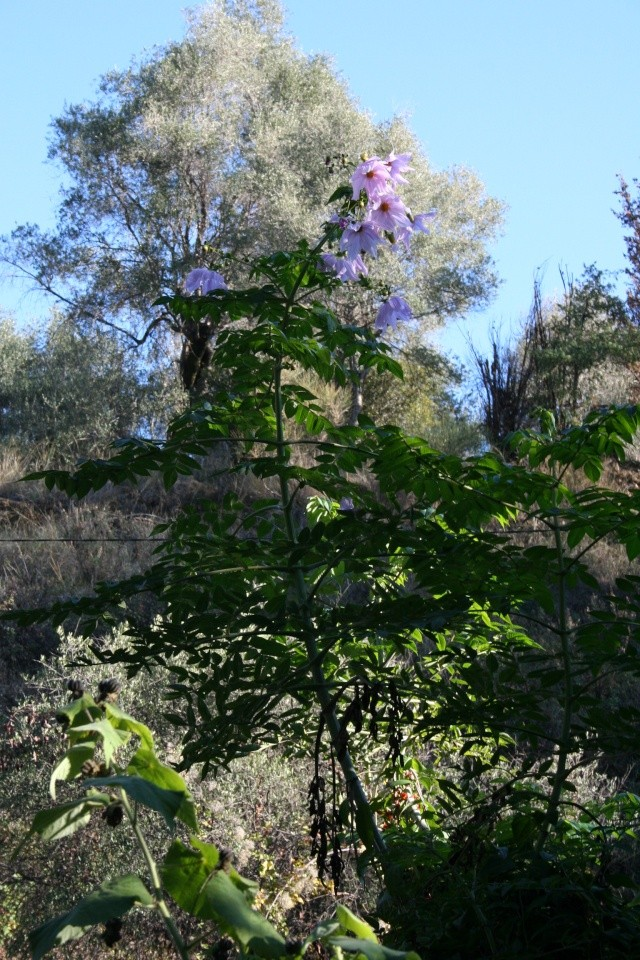 Jardin Botanique Val Rameh de Menton fin décembre 2007 Dahlia10