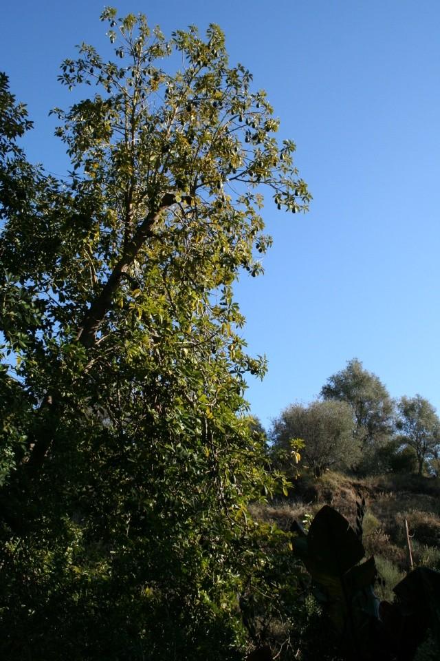 Persea americana de Val Rameh à Menton Persea12