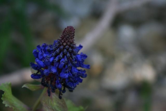 Une très jolie fleur Pycnos10