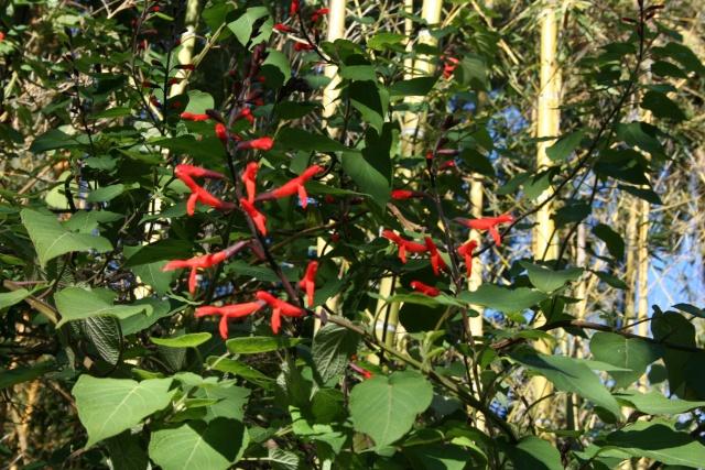 Jardin Botanique Val Rameh de Menton fin décembre 2007 Salvia10