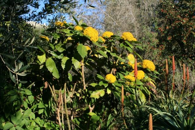 Jardin Botanique Val Rameh de Menton fin décembre 2007 Seneci10