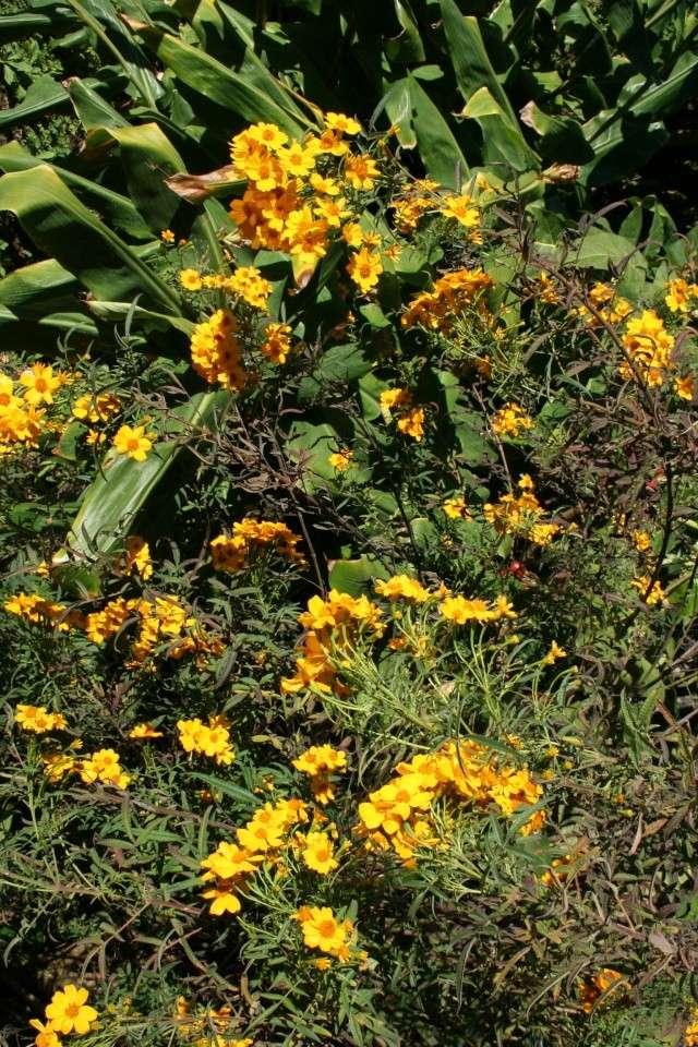 Jardin Botanique Val Rameh de Menton fin décembre 2007 Tagete10