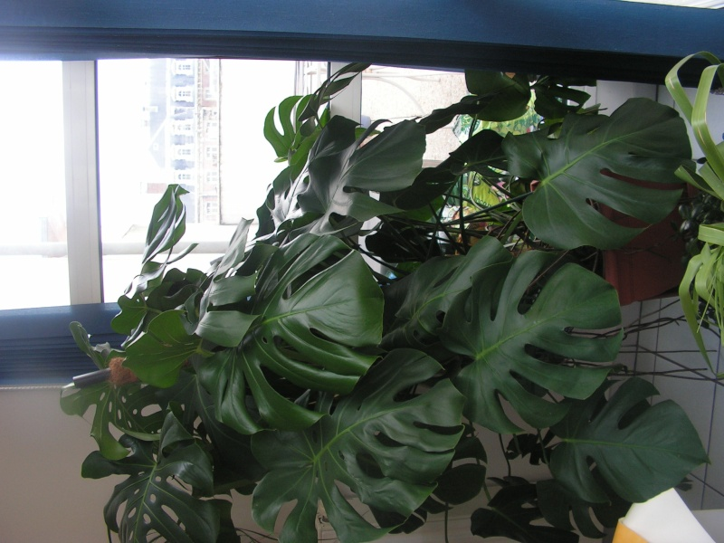 question monstera Pict0033