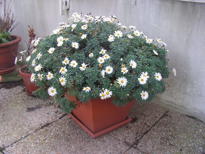 regardez moi ca en fleurs depuis un ans quasimment Pict0038