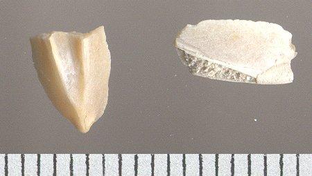 [résolu]phragmocône, Belosepiella parisiensis DE ALESSANDRI, 1905 Inconn10