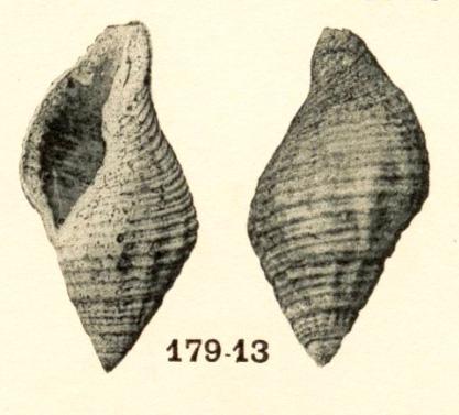[résolu]Cantharus (Pollia) subandrei (d'Orbigny,1850) Endopa10