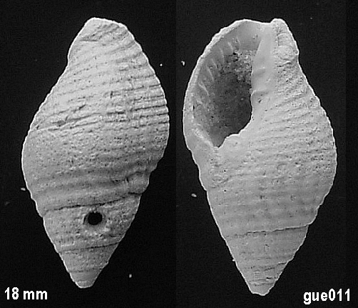 [résolu]Cantharus (Pollia) subandrei (d'Orbigny,1850) Gue01110