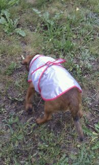 Titi Kehops petit Brabançon et son petit manteau de pluie 100med31