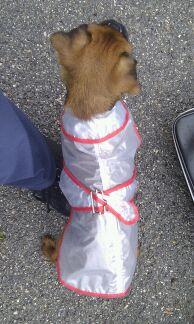 Titi Kehops petit Brabançon et son petit manteau de pluie 100med33