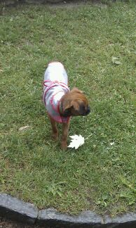 Titi Kehops petit Brabançon et son petit manteau de pluie 100med35