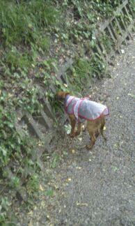 Titi Kehops petit Brabançon et son petit manteau de pluie 100med36