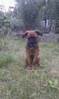 Kehops petit Brabançon, membre de notre famille 100med38