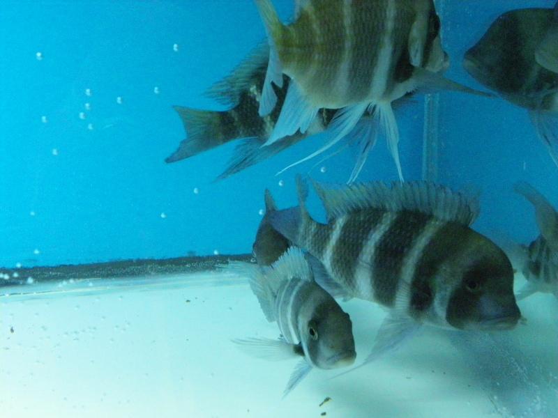 bourse aquariophile : St Hilaire de Villefranche le 17 octobre 2010 Imgp2438