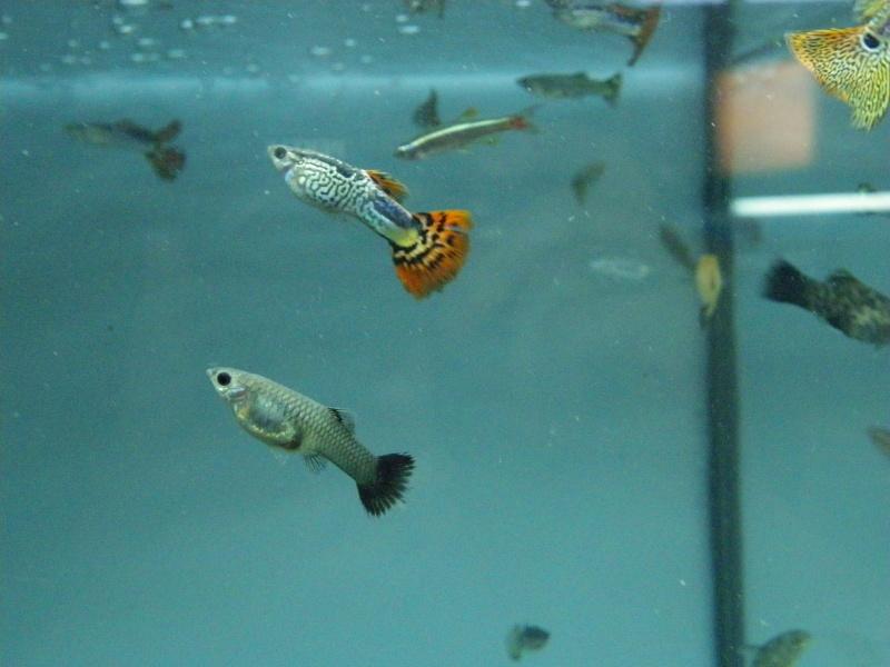 bourse aquariophile : St Hilaire de Villefranche le 17 octobre 2010 Imgp2441