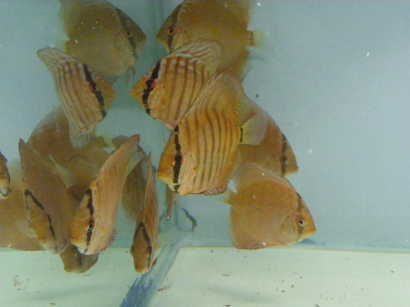 bourse aquariophile : St Hilaire de Villefranche le 17 octobre 2010 Imgp2445