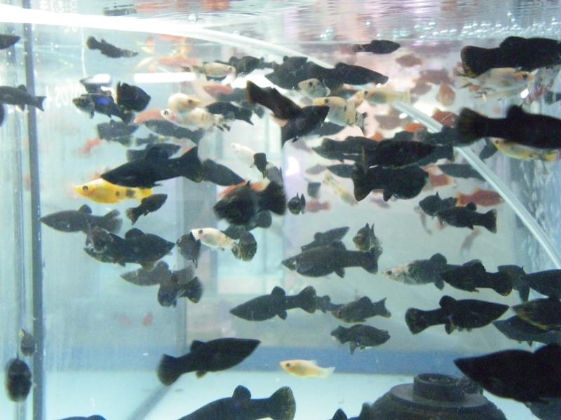 bourse aquariophile : St Hilaire de Villefranche le 17 octobre 2010 Imgp2446