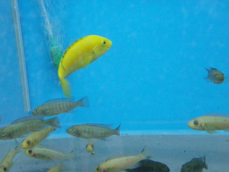 bourse aquariophile : St Hilaire de Villefranche le 17 octobre 2010 Imgp2447