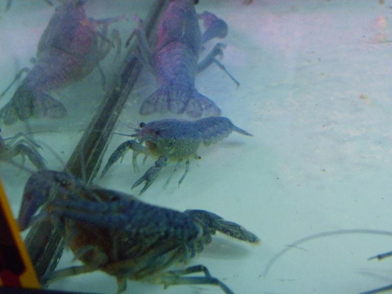 bourse aquariophile : St Hilaire de Villefranche le 17 octobre 2010 Imgp2448