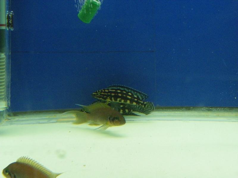 bourse aquariophile : St Hilaire de Villefranche le 17 octobre 2010 Imgp2455