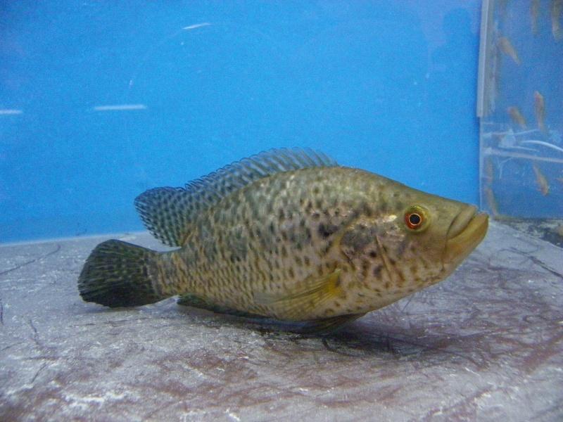 bourse aquariophile : St Hilaire de Villefranche le 17 octobre 2010 Imgp2457