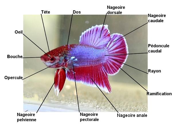 ANATOMIE du Betta (mâle et femelle) Anatom10