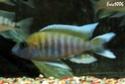 cichlidès du malawi (éric) Aulono21