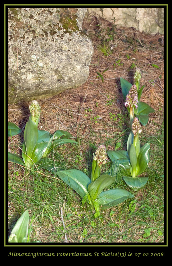 Himantoglossum robertianum (Barlia, Orchis géant ) 20080211