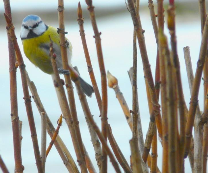 petit test oiseaux FZ18 Mesang12