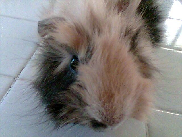 Le cochon d'inde ou cobaye. Photo010