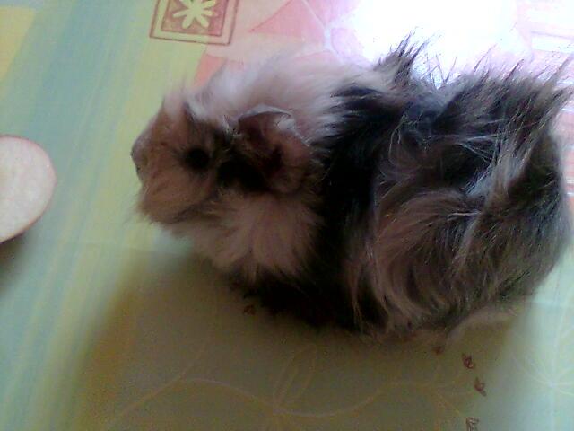 Le cochon d'inde ou cobaye. Photo011