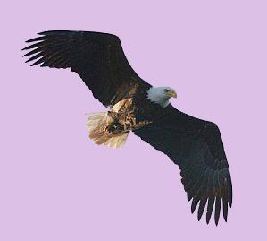 Plume d'Aigle Aigle210