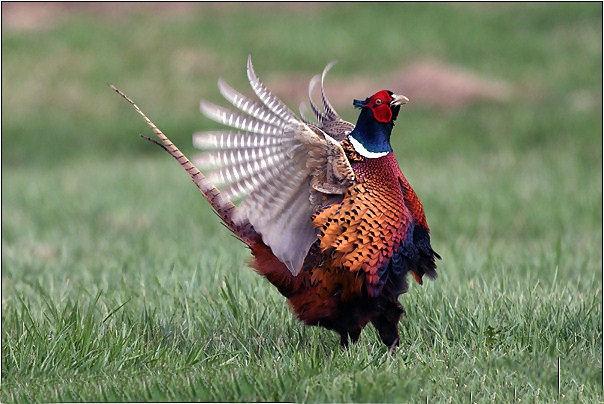 Le faisan, simplement oiseau ou messager ? Faisan11