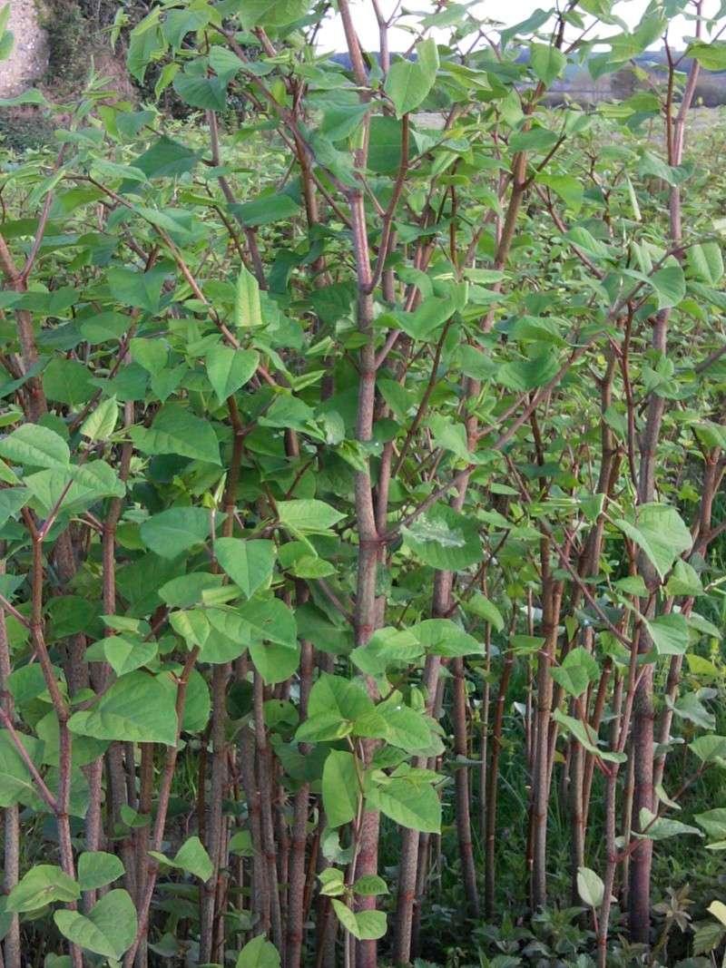 Renouée du Japon / Fallopia japonica 2011-016